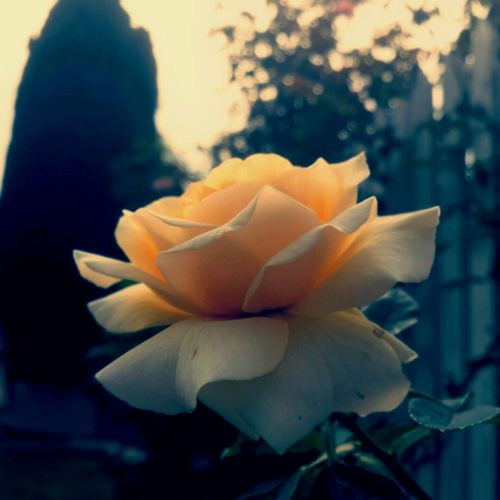 Paper back old school romance Old School Romance Creme Caramel Delicate Rose Perfection Vintage Late Afternoon EyeEm Vision Dusk Showcase: February