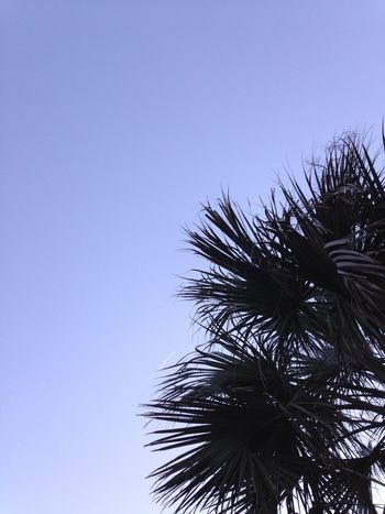 Swaying Palms. Low Angle View Clear Sky Growth Nature Tree No People Beauty In Nature Outdoors Sky Tranquility Palm Tree Branch Day Treetop Beach