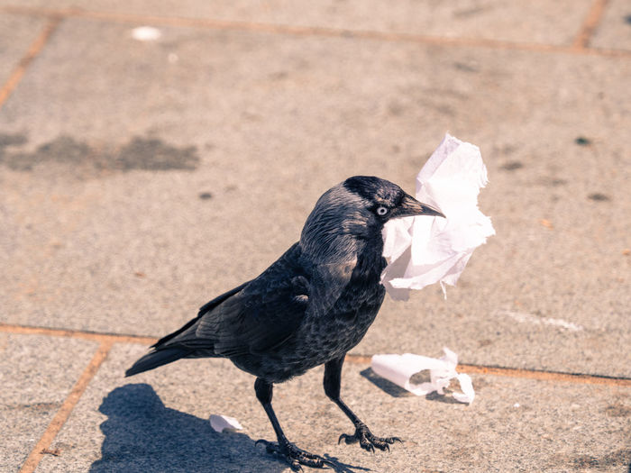jackdaw Animal Animal Themes Animal Wildlife Animals In The Wild Bird Black Color Close-up Day Eating Focus On Foreground Footpath Full Length High Angle View Nature No People One Animal Outdoors Perching Sunlight Vertebrate