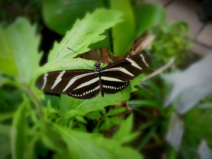 Insect Animals In The Wild Animal Themes One Animal Animal Wildlife Nature Green Color No People Butterfly - Insect Beauty In Nature Plant Day Outdoors Leaf Close-up The Great Outdoors - 2017 EyeEm Awards