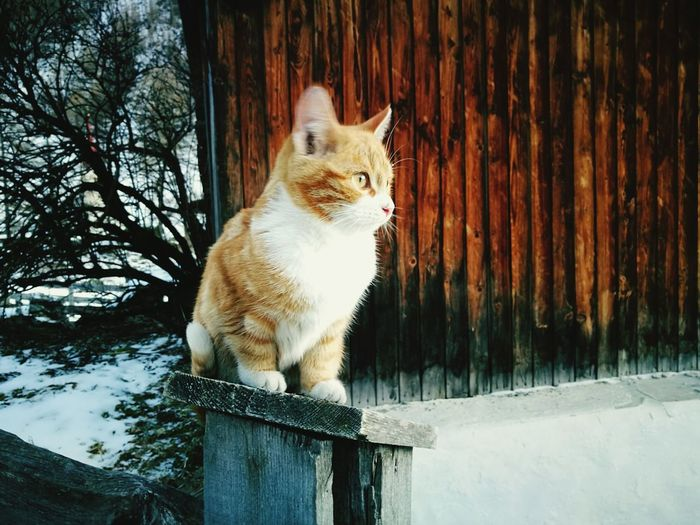 Domestic Cat Animal Themes Mammal Domestic Animals Wood - Material Pets One Animal Low Angle View Tree No People Day Nature Winter Feline Outdoors Beautiful Nature Snow Winter Light And Shadow Nature Scenics Red Cat Kitten Cat Pet