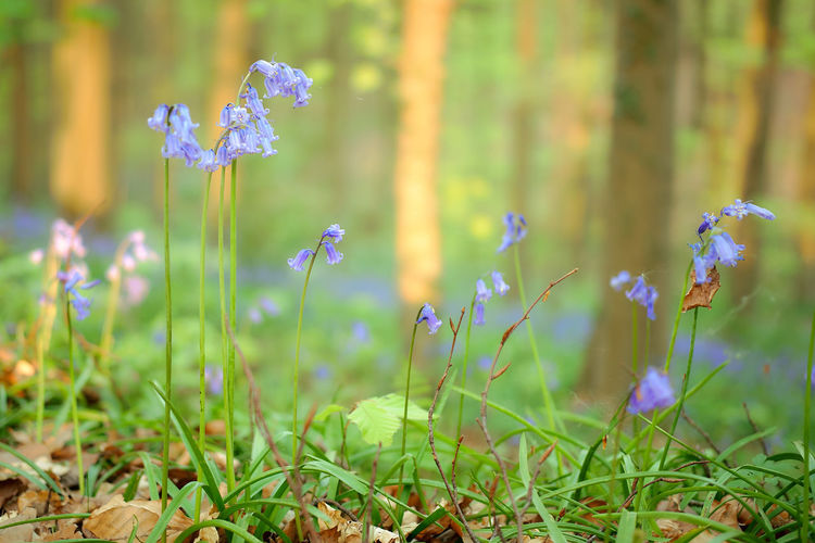 The magic of Hallerbos - bluebells - April 2019 - Plant Flower Flowering Plant Growth Freshness Beauty In Nature Land Field Fragility Vulnerability  Nature Grass Close-up Purple Selective Focus Day No People Petal Green Color Focus On Foreground Outdoors Flower Head Bluebells Hallerbos Bois De Hal Hyacinth Flower
