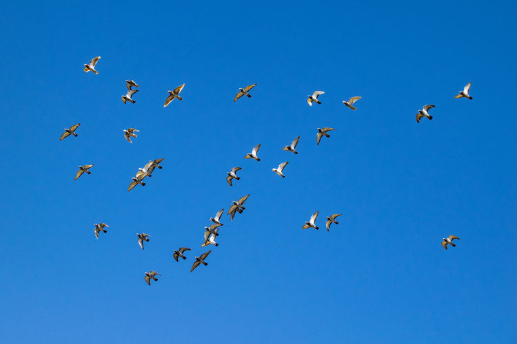 Flock of pigeons in flight Animal Wildlife Flying Animal Animal Themes Animals In The Wild Vertebrate Blue Group Of Animals Bird Large Group Of Animals Sky Low Angle View Clear Sky Flock Of Birds Spread Wings Nature Mid-air No People Day Beauty In Nature Pigeon Pigeons Flock Of Birds Flock Of Pigeons Flying Pigeon