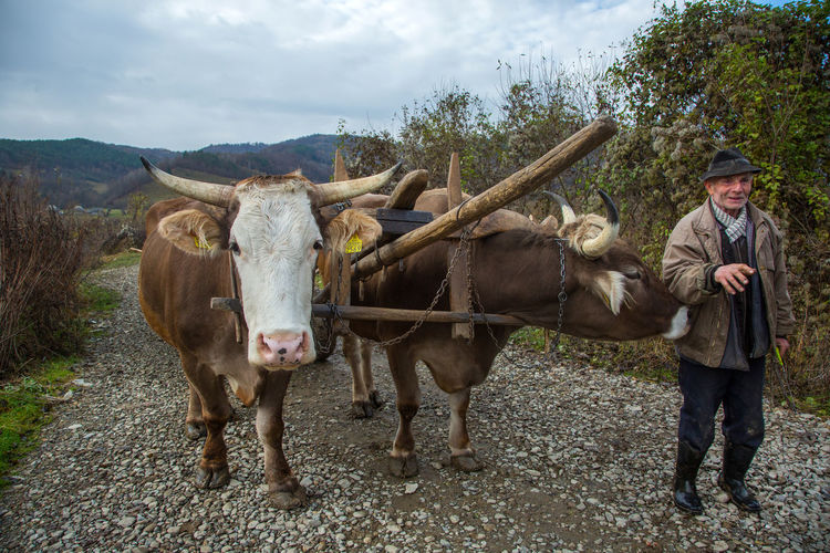 Maramures Animal Themes Day Domestic Animals Livestock Looking At Camera Mammal Nature One Person Outdoors Oxen People Portrait Sky Standing