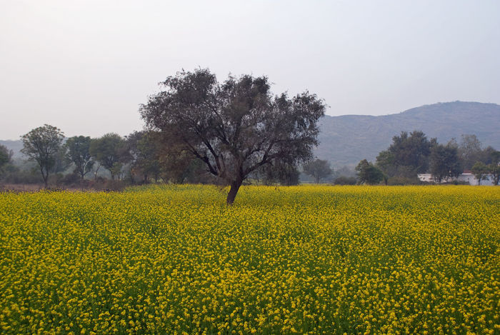A huge field where mustard is grown, with yellow flowers visible everywhere. Hills are visible in the background, with a single tree in the center of the mustard field. This is located in the rural countryside of North India. Agriculture Beauty In Nature Crop  Cultivated Land Farm Field Flower Green Color Landscape Mountain Mustard Mustard Fields Nature No People Non-urban Scene Outdoors Rural Scene Scenics Springtime Tranquil Scene Tranquility Tree Yellow