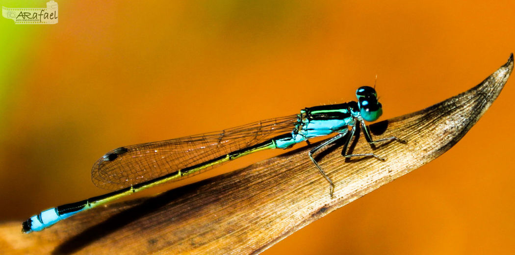Insect Macro Photography Natureza Perfeita♡♥ Animal Wildlife Animals In The Wild Animal Themes One Animal No People Damselfly Close-up Day Outdoors Nature First Eyeem Photo