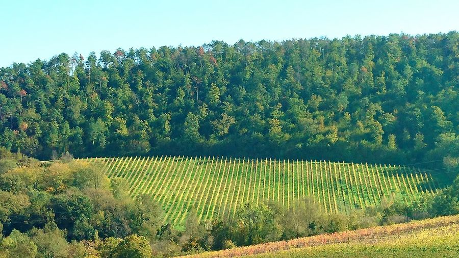 Tree Growth Nature No People Clear Sky Day Outdoors Sky Beauty In Nature Vinyard Vinyards Eyemcollections Eyemcolorphotos Novemberphotochallenge Wine Vinho Vineyard Simple Pleasures Landscape Autumn Collection EyeEm Italia Tuscany Tuscany Countryside Beauty In Nature
