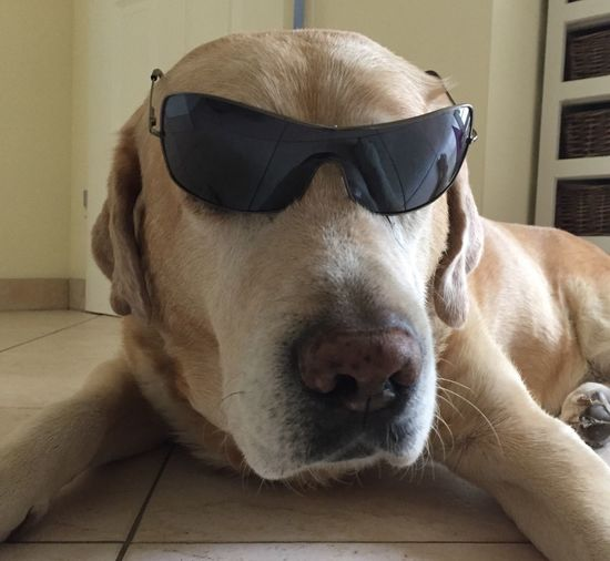 One Animal Dog Pets Indoors  Animal Head  Animal Nose Domestic Animals Close-up Looking At Camera Dog With Sunglasses Sunglasses