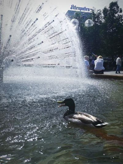 'SMARTEST DUCK In Oslo' Summertime Enjoying Life Showering Duck Oslo Streetphotography Water Urban Urbex Sunshine Moments Tranquility Sunny City Blue Sky Lovely Oslo 2018 Beautiful Day City Life Photographing Duck Bird Cute Fountain Summer 2018
