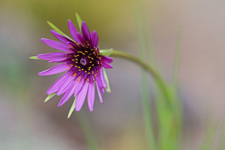 May 2019 Flower Flowering Plant Vulnerability  Fragility Freshness Plant Beauty In Nature Petal Growth Close-up Inflorescence Flower Head Nature Focus On Foreground Pollen Pink Color Purple No People Day Outdoors