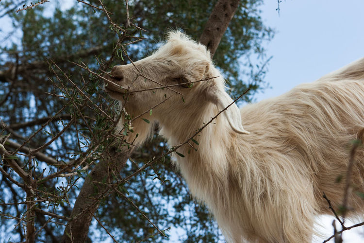 Goat eating plant against clear sky