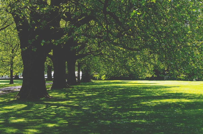 Old trees shadow in the park England Nostalgic  Cambridge Vintage Retro Plant Tree Green Color Nature Growth Grass Sunlight Day Beauty In Nature Land No People Tranquility Park Shadow Outdoors Scenics - Nature Field Tranquil Scene Park - Man Made Space Foliage