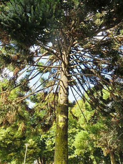 Araucaria Tree Nature Tranquility National Tree Of Chile