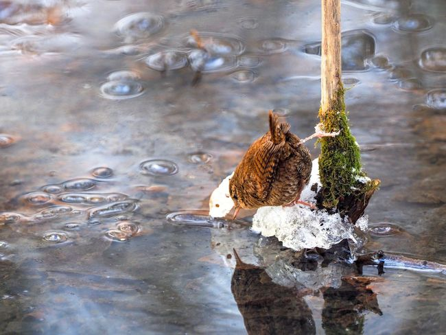 Thirsty Birds Of EyeEm  Birds Bird Wren Cold Weather Winter Water High Angle View Lake No People Reflection Day Bird Close-up Outdoors Nature Waterfront