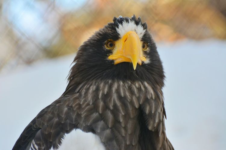 Animal Themes Bird Eagle One Animal Zoology Белоплечий орлан зоопарк птица