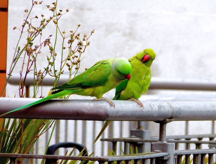 Rose-ringed Parakeets Parakeets Parakeets having a discussion Brentford Birds Cheeky Bird Cute Birds  Husband And Wife Husbandandwife Husband & Wife Discussion I'm Not Listening Couples Couples❤❤❤ Couple Wildlife Wildlife & Nature Odd Couple What Are YOU Looking At? What Are You Looking At Debating Family