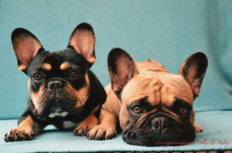 Delboyandrodney Pets Dog Onlyf Fools And Frenchies Frenchbulldog Black And Tan Dog Delboy Rodney Brothers