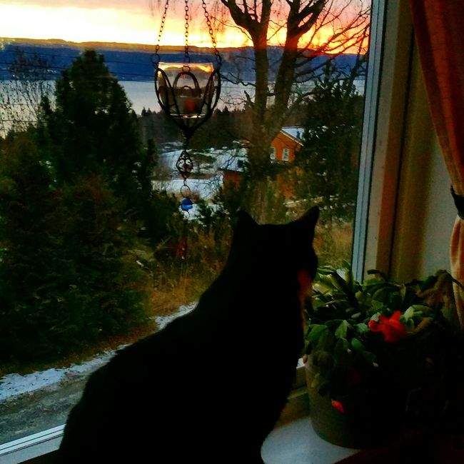 Good morning from Norway 😊 Otto 💖 Sunrise , morning, Norway, Winther, snow, cat in the window, Otto 💖, Tuxedocat, cold, November 2015 , November Nordic Light Tuxedocats EyeEm Nature Lover Norwegian Winter Home Sweet Home Black And White Tuxedocat Norwegian Love Blackcatlove Cats Cat Lovers Beautiful Cat Family Adopted My Cat Is Cooler Than Your Kids! Pets Corner