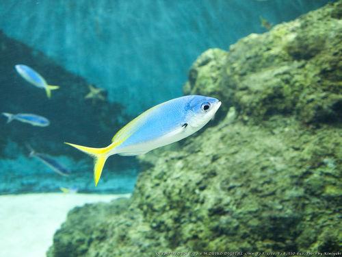 ウメイロモドキ Aquarium Fish