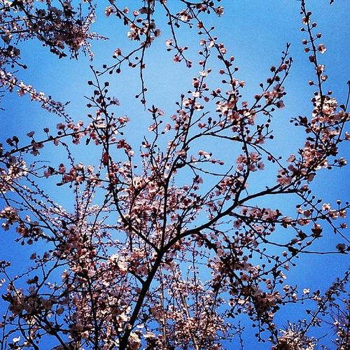 CherryBloss Spring Ankara Turkey