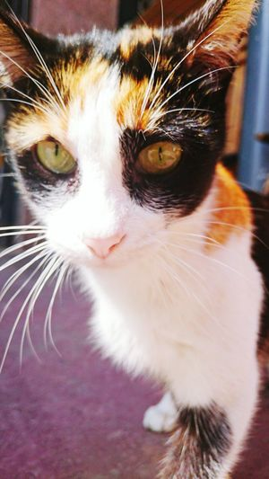 Cat Domestic Cat Pets One Animal Animal Themes Looking At Camera Feline No People Indoors  Portrait Beautiful Cat Cat Eyes Mammal Domestic Animals Pets And Animals Cats 🐱