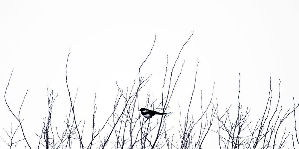 鹏飞九万里,饮海餐鲸虬,啄啄家喜鹊,也站一枝头。 bird Bare Tree Plant Bird Branch Low Angle View Perching No People Outdoors Nature Animal