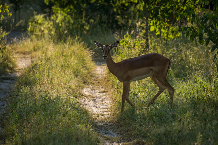 Close-up of impala standing in forest