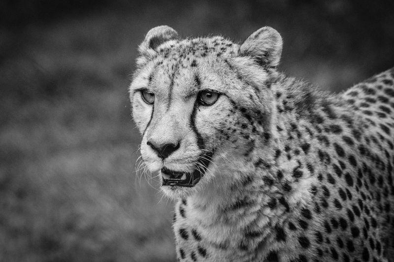 EyeEm Selects Animal Themes Animal Feline Animal Wildlife Cat Animals In The Wild Big Cat Animal Head  Focus On Foreground