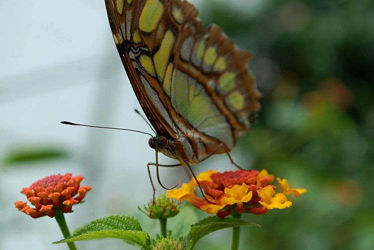But eye pt.2 Insect Animals In The Wild Butterfly - Insect Animal Themes Flower Focus On Foreground Fragility