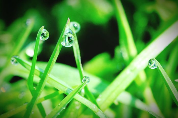 Morgentau Gras Makro Drops Water Reflections In The Water Reflection Macro Photography Fujifilm_xseries Macro_collection Grassy Grassland Morgenstimmung Morning Tropfenfotografie Tropfen Damselfly Insect Grasshopper Close-up Animal Themes Green Color Plant Blade Of Grass