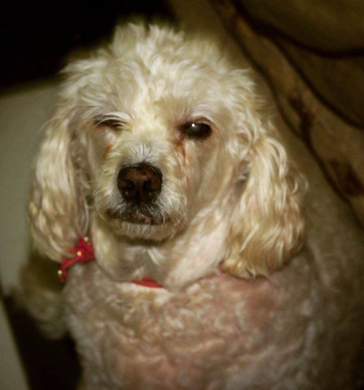 dog, one animal, pets, domestic animals, animal themes, mammal, close-up, looking at camera, portrait, no people, indoors, day