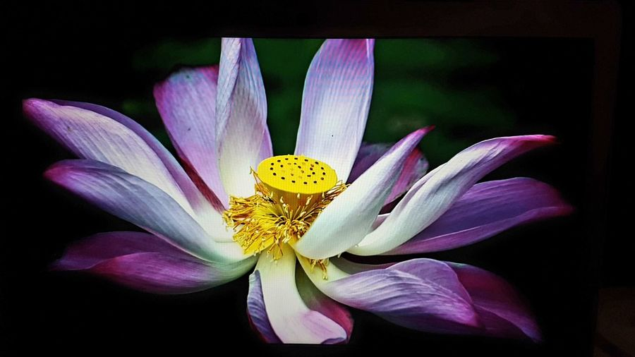 flor de Loto Flower Petal Fragility Flower Head Black Background Beauty In Nature Freshness Close-up Beauty Plant Nature