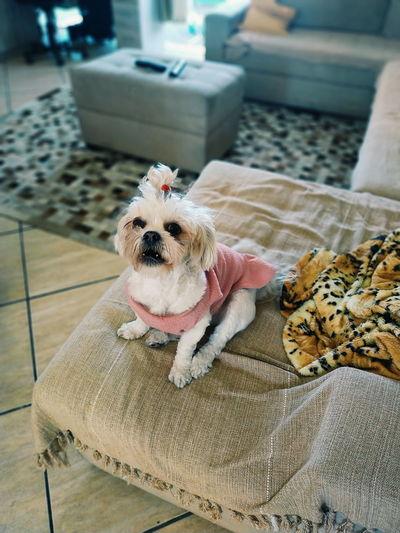 Shihtzu Xiaomi Redminote5pro Lilica Cute Litoralnorte Caraguatatuba EyeEm Selects Pets Portrait Dog Close-up Pet Clothing Shih Tzu Puppy