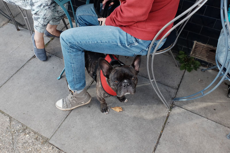 Portrait of french bulldog by people sitting at sidewalk cafe