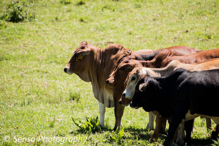 Cattle Farm Canon80d📷 Tamron18400 Canonphotography Tamronlens Boran Grass Mammal Animal Nature Animal Themes Outdoors Field Rural Scene Side View Green Color Grass Area Day Domestic Animals Beauty In Nature