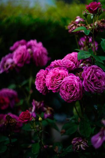 焼きそば食べたい。 Beauty In Nature Blossom Flower Flower Head In Bloom Pink Color Plant Purple Rose - Flower Rose Garden Roses Rose🌹