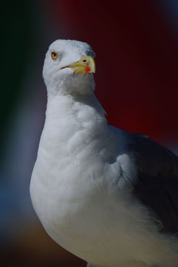 Seagull in Rome. One Animal Animal Themes Bird No People Close-up White Color EyeEm Best Shots Beauty In Nature Taking Photos Photography