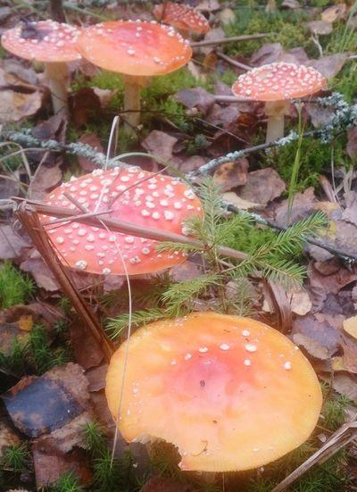 Красные мухоморы. грибы Mushroom Nature Природа Still Life натюрморт