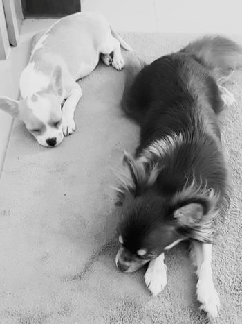 Pets Animal Themes Dog Lying Down Relaxation Sleeping Indoors  No People Togetherness Taking Photos Relaxing Sisterlove Dogslife Dog Photography Dog Chihuahua Chihuahualife