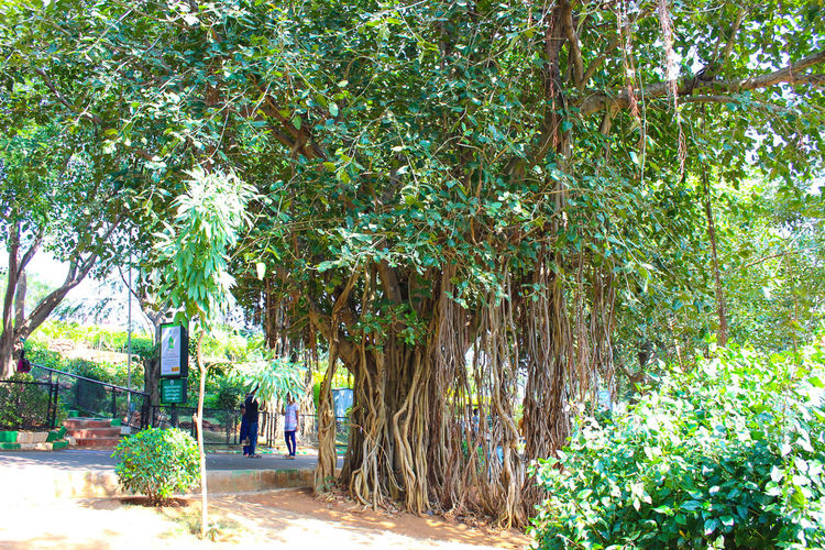 THE BUNYAN TREE BUNYAN TREE Tree Plant Green Color Pathway Walkway Long Woods The Way Forward