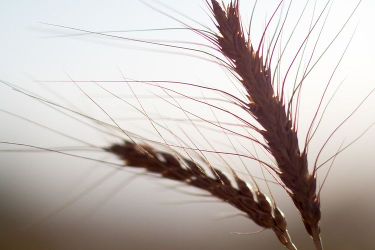 Agriculture Wheat Beauty In Nature Bread Close-up Day Grain Nature No People Outdoors Selective Focus