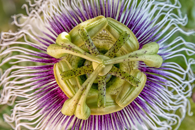 Close-up of passion flower