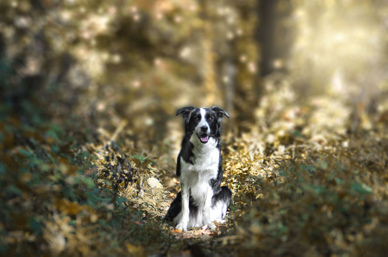 Alessandro Cappello Border Collie Dogs Luino Nature Animal Themes Bordercollie  Day Dog Dog Of The Day Dog Portrait Domestic Animals Forest Light And Shadow Looking At Camera Mammal Nature No People One Animal Outdoors Pets Portrait Sun Sunset Varese