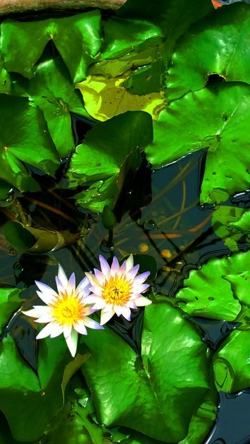 Pond Pond Life Lillypads Lilly Pad Beauty In Nature Water Reflections Waterscape Waterlilies Waterlilly