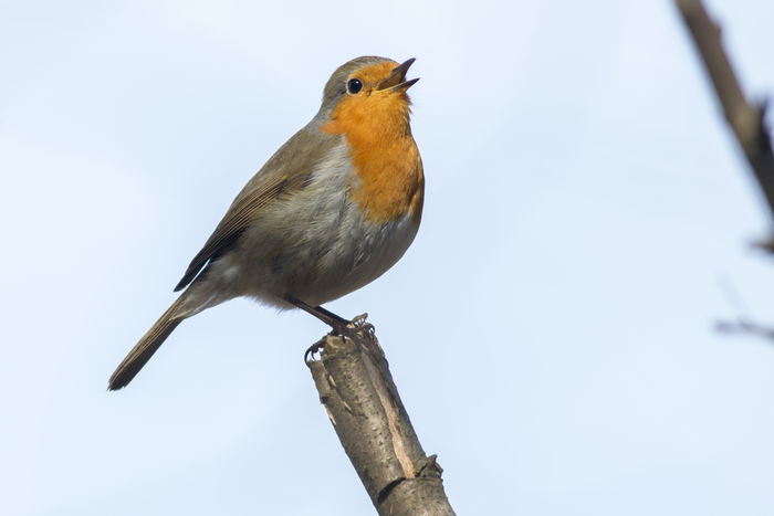 A robin redbreats on a branch Erithacus Rubecula, Nature Songbird  Animals World Anmial Bird Birds Birds Life Birds World Branch Branchlet Feather  Feathering Fodder Landscape Outdoors Plumage Readbreast Robin Robin Redbreast Singing Bird Wildlife