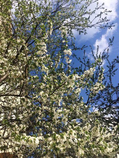 Up In Sky Spring Spring Flowers Spring Has Arrived Springtime Spring Colours Hot Day Blue Sky