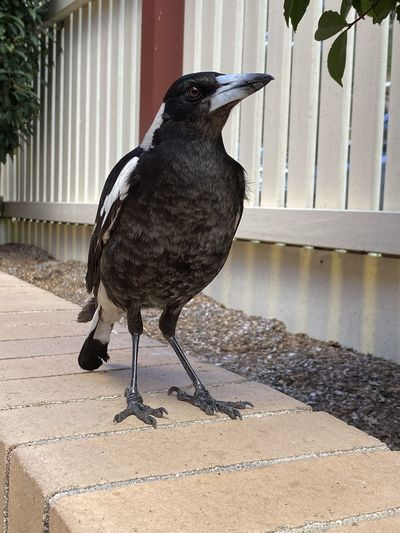 Magpie love