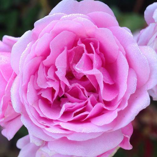 Fresh From The Garden -early am 6.4.14 - redleft.weebly.com Rose♥  Garden Flower Peach