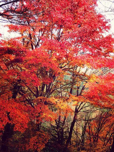 MapledLeaves] Mapleleaf Autumn Colors