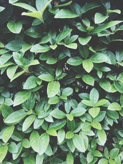 Leafy 2🍃 Pattern Growth Leaf Plant Part Green Color Plant Full Frame Nature Backgrounds High Angle View Outdoors Close-up Beauty In Nature No People Day Field Drop Water Freshness Tranquility Wet